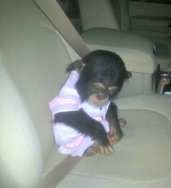 Chimpanzee for sale